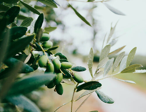 CULTIVATION OF OLIVE AND HAZEL IN TRASIMENO TERRITORY – TOWARDS INNOVATION AND CIRCULARITY