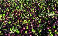 oliveoil_supplychain_trasimeno